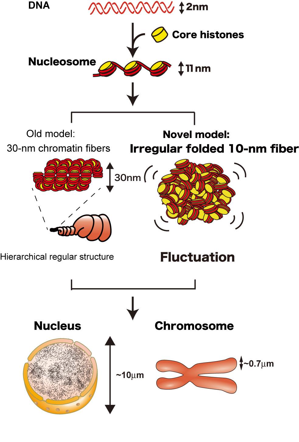 クロマチン 構造